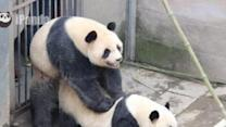 Giant Pandas Mate Successfully at Chinese Research Center