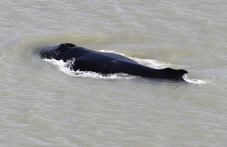 Humpback whale finds escape from Australian crocodile river