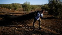 Spanish olive growers claim first victory against U.S. duties