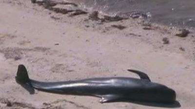 Raw: Whales Stranded in Everglades Nat'l Park