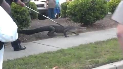 Alligator captured outside shopping center