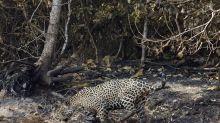 Com falta de plano, milhões investidos por Bolsonaro para salvar Pantanal são 'desperdício de dinheiro', diz especialista