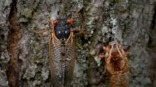 Trillions of brood X cicadas move closer to emergence as soil temperatures rise