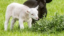 Lamb twins wowing family park visitors after being born completely different colours