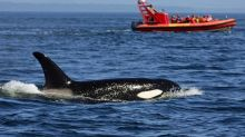 Alaska fishermen 'chased out' of Bering Sea by gangs of killer whales