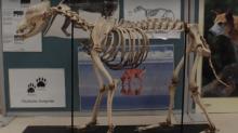 The bizarre skeletons stolen from a Sydney university