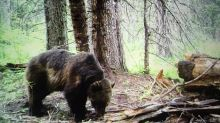 Grizzlies are roaming farther and wider. What does that mean for species recovery efforts?