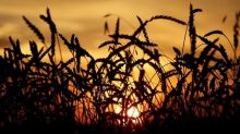World food price index climbs in April, highest since mid-2014: FAO