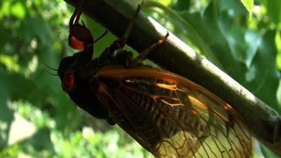 Billions of Cicadas Emerge in Noisy Mating Scene
