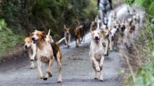 Six hunting hounds killed by train in Devon