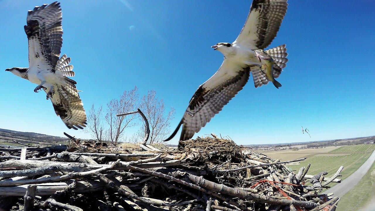 Camera in fish eagle nest documents amazing activities over weeks [Video]