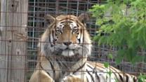 Tiger Mauls Employee at Exotic Rescue Center