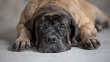 Woman wakes up to find drunk man passed out in a dog bed next to her 150-pound mastiff