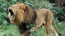 """""""Habe keine Angst"""": Frau steigt in Löwengehege"""