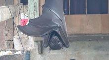 Lo que necesitas saber sobre la foto viral del murciélago de tamaño humano