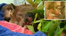 Lewis the koala, who was rescued from bushfires in Australia, dies from burns