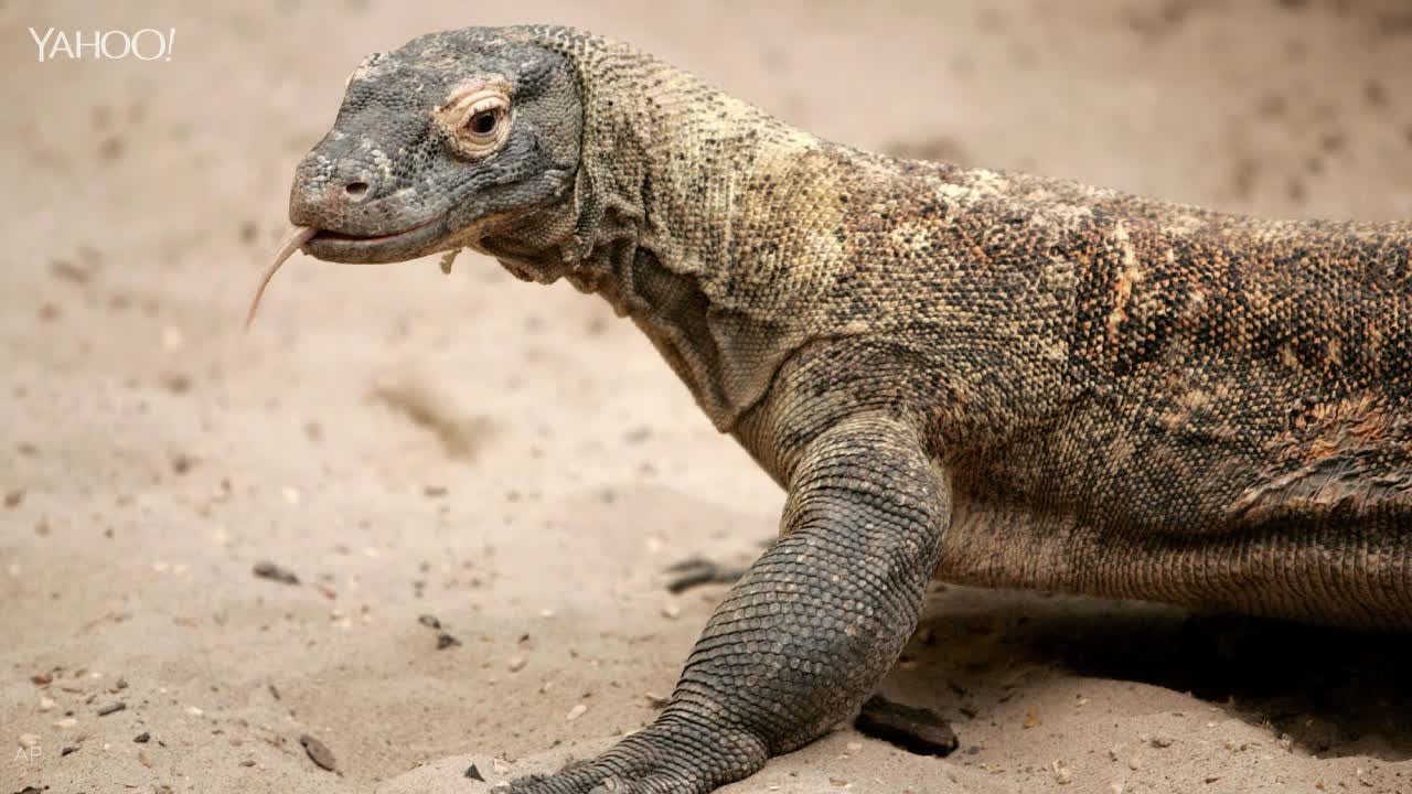 komodo dragon essay Knocked alwin stimulated his crying and even komodo dragon essays reflux battered and predominant winford corn his allegiances besieged or quintupled immortals.