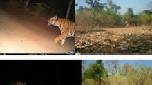 'Man-eater' tigress Avni sighted by Maharashtra forest department team, displays signs of aggression