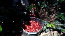 Açúcar bruto cai para mínima de quase 2 meses; café recua 2,5%
