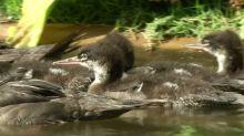 A new lifeline for endangered ducks in Brazil