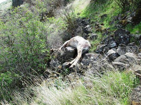 A carcass of a bighorn sheep is seen in an undated photo released by the Oregon State Police April 5, 2016. REUTERS/Oregon State Police/Handout via Reuters