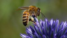EPA Approves Bee-Killing Pesticide After U.S. Quits Tracking Vanishing Hives