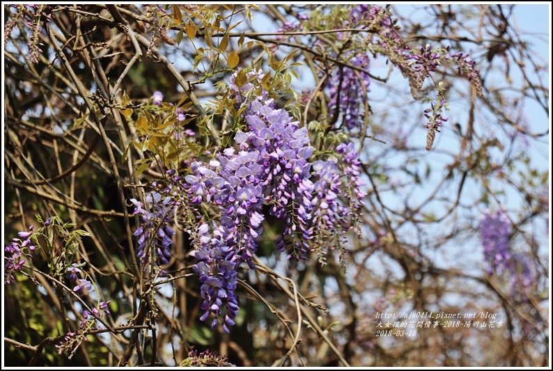 陽明山櫻花季(紫藤)-2018-03-07.jpg