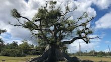 An Ancient Ceiba Tree Blooms Once Again After Puerto Rico's Devastating Storms