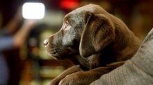 Cães usariam mímica para se comunicar com o homem