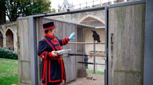According to legend, 'the kingdom will fall' if the Queen's Ravens leave the Tower of London. One of the birds is now missing, but don't panic - yet.
