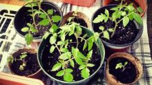 Grow to eat: get your tomatoes ready for the great outdoors