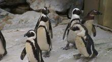 Hay un drama en la comunidad 'queer' de pingüinos