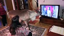 Domesticated reindeer enjoys watching TV
