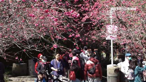 南投櫻花盛開。