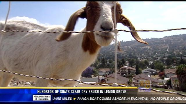 Hundreds of goats clear dry brush in Lemon Grove