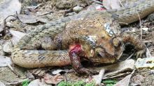 These Snakes Take Their Prey Down in the Most Savage Way