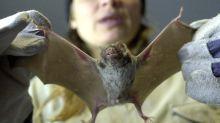 Coronavirus: afirman que volvió la venta de carne de murciélagos en China