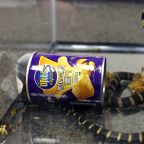 Live 2-Foot-Long Cobras Found in Potato Chip Cans