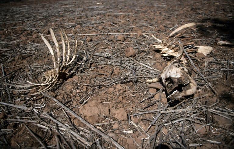 The skeleton of a cow seen on an arid farm in Chile's Valparaiso region (AFP Photo/Martin BERNETTI)