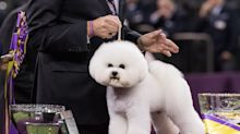 Some Westminster Dog Show Competitors Are Using Kenra Fast-Dry Hairspray for Flake-Free Fur