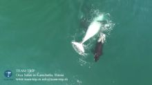 Blood in the Water: Drone Video Films Whale-Hunting Orcas