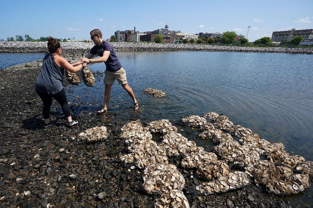 Volunteers hoist sacks of oyster shells to rebuild reefs of crustaceans in New York harbor that biologists hope will filter water and create a more diverse eco-system (AFP Photo/Don EMMERT)