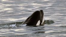 Tahlequah, the grief-stricken orca who carried her dead daughter with her for 17 days, is pregnant again