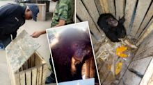 'True survivor': How investigators saved a baby ape trafficked on the Dark Web