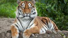 Las Vegas animal sanctuary director mauled by tiger