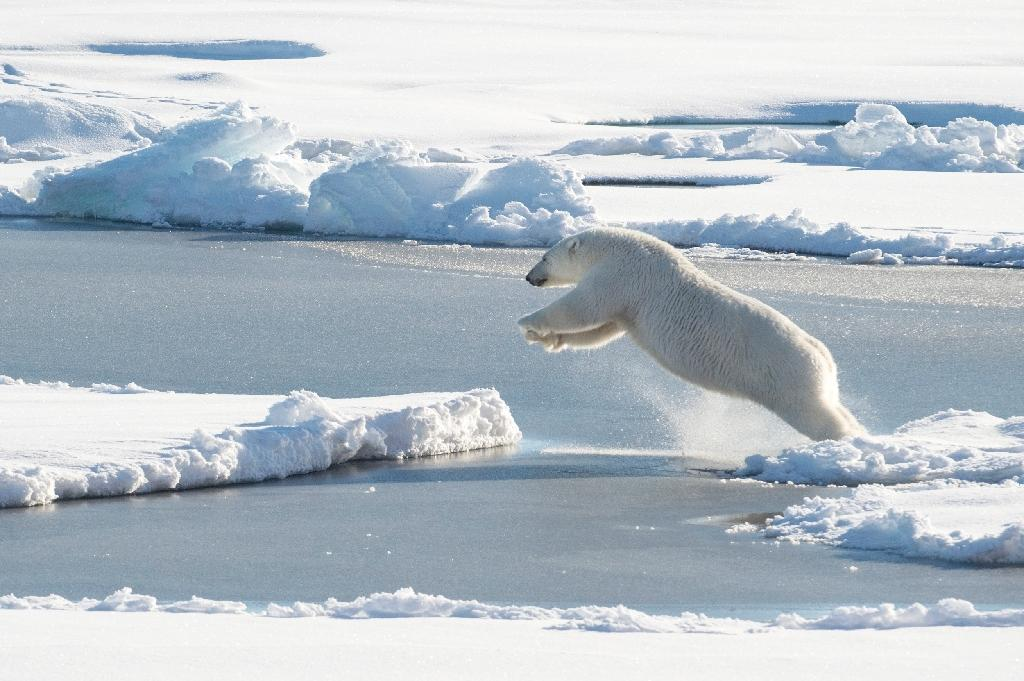 the International Union for the Conservation of Nature (IUCN) has classified the sea-faring polar bear, a.k.a. Ursus maritimus, as 'vulnerable', or at high risk of extinction in the wild (AFP Photo/Cory J. Mendenhall)