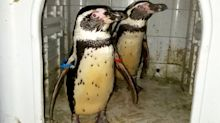 Former zookeeper stole two penguins during night-time break in, court hears