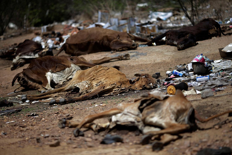 <p>Cattle carcasses lie along a road in Pianco, Paraiba state, Brazil, Feb. 12, 2017. (Photo: Ueslei Marcelino/Reuters) </p>