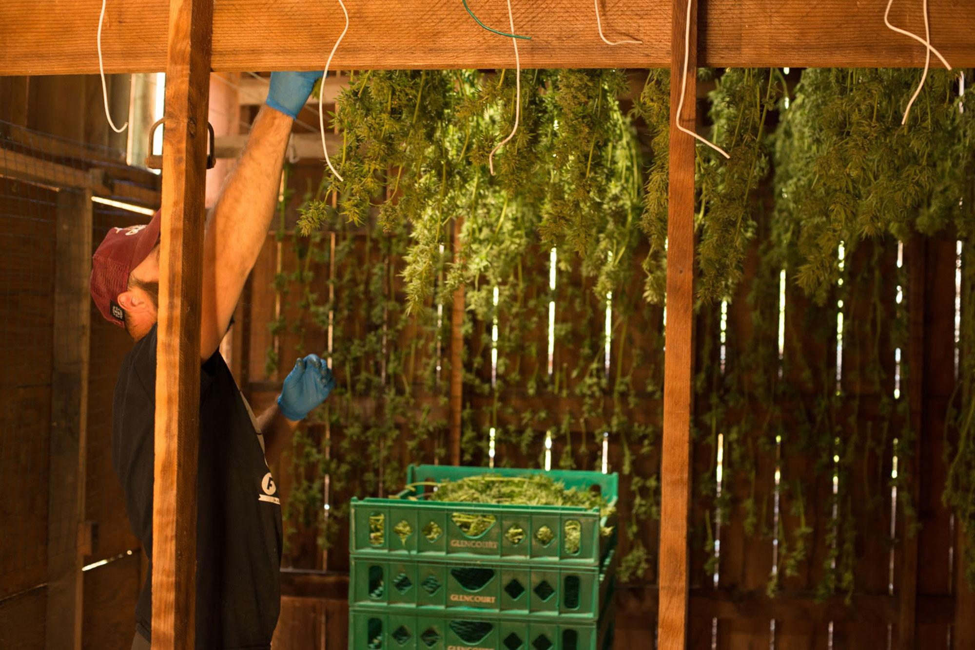 <p>Brad hangs his medical marijuana plants in preparation for selling them to a dispensary. (Photo: Deleigh Hermes for Yahoo News) </p>
