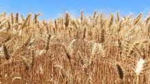 Turnaround Day for Grains, Soybeans, Corn and Wheat Post Recoveries